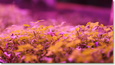 Cilantro Microgreens Growing at Mud Lake Farm under TotalGrow Broad Grow Spectrum Light LED Bulbs