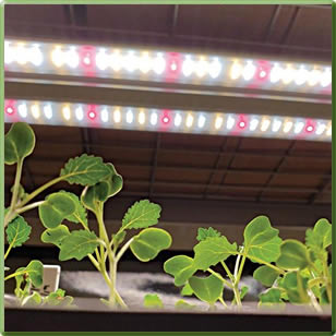 Black Pearl Gardens Microgreen Production under TotalGrow Broad Grow Spectrum Light LED Bulbs